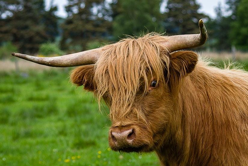 Highlandrind auf grüner Wiese