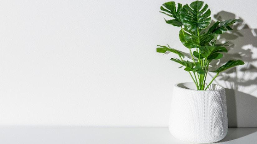 Monstera Pflanze in weißem Blumentopf