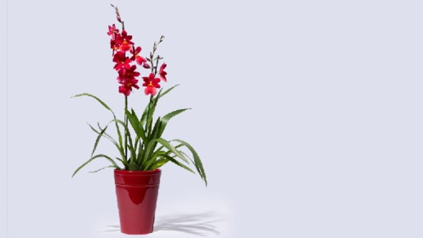 Duft-Orchidee