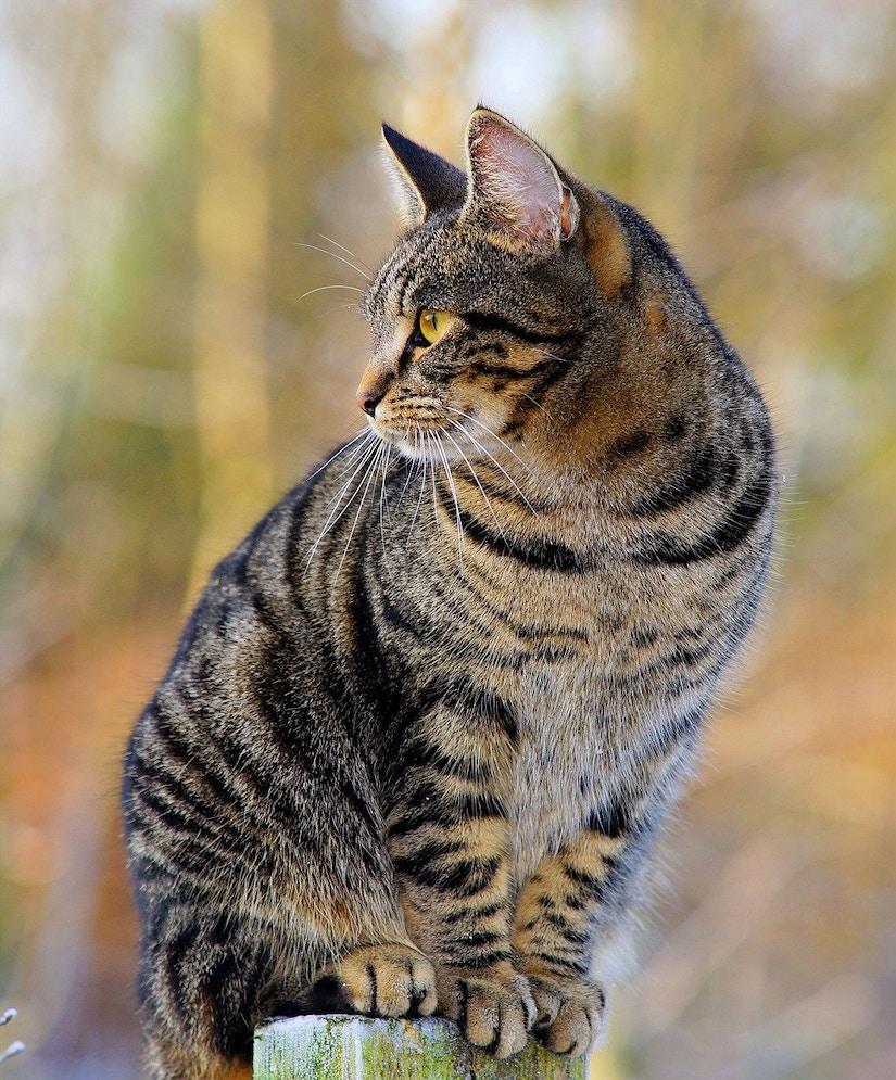 Katze sitzt auf Zaunpfosten.