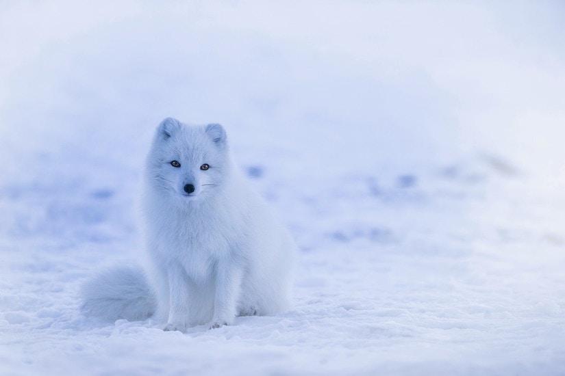 Polarfuchs in seinem natürlichen Habitat