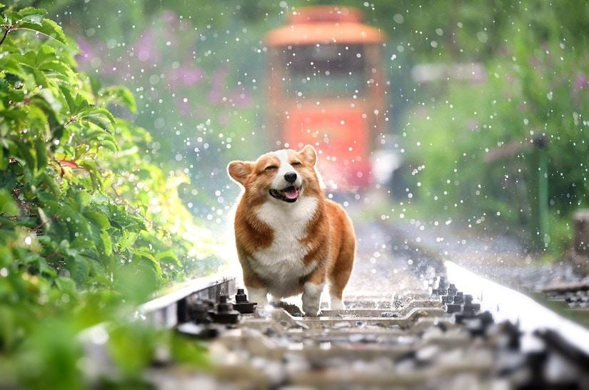 Corgi steht auf einem Bahngleis