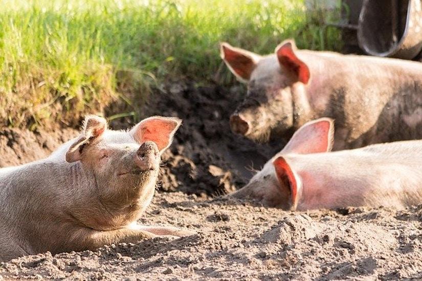 drei sonnenbadende Schweine