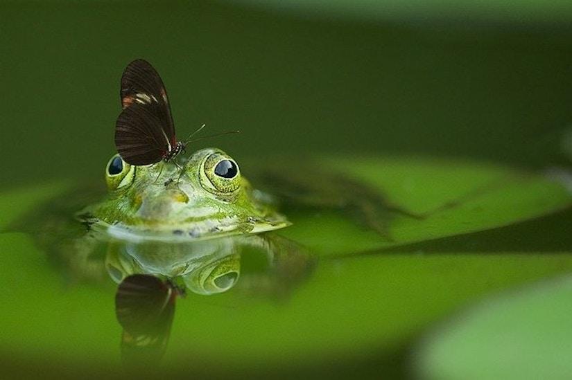 Schmetterling, der auf Frosch sitzt
